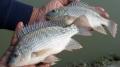 Chủ động phòng, chống dịch bệnh mới trên cá rô phi