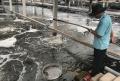 Không vay được vốn, doanh nghiệp nuôi tôm sạch kêu cứu