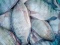 Dự án cải thiện nuôi cá rô phi được tổ chức ở Senegal