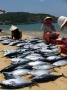 Ngư dân Bình Định được mùa cá lồ ồ và cá chù