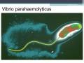 Bất hoạt khả năng gây bệnh EMS trên tôm bằng gen đột biến