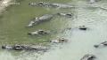 Giá cá sấu miền Tây tăng nhưng vẫn ở mức thấp