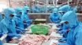 Giá cá tra nguyên liệu tiếp tục tăng mạnh