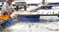 Giá thủy sản nuôi lồng bè tăng vọt