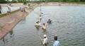 Nuôi cá tra theo tiêu chuẩn an toàn chất lượng tại An Giang