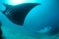 Indonesia thành lập khu bảo tồn cá đuối lớn nhất thế giới