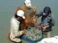 Thêm rào cản kháng sinh mới cho mặt hàng tôm xuất khẩu