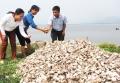 Nuôi hàu sữa ở Cam Lâm: Giảm hiệu quả vì chưa đúng kỹ thuật