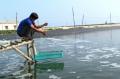 33 tỷ con tôm giống bị đổ bỏ