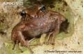 Giáp mặt các loài ếch cực dị vùng Haiti
