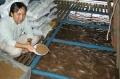 ĐBSCL: Nuôi cá điêu hồng lồng bè sắp phá sản