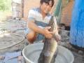 Bắt được cá lóc đồng nặng gần 7 kg