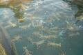 Nghề nuôi tôm hùm vùng Duyên hải miền Trung: Hiệu quả từ tiềm năng và lợi thế