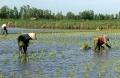 Cà Mau: Vụ lúa trên đất nuôi tôm - nông dân U Minh gặp khó