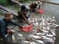 Phát triển sản phẩm cá da trơn VN chất lượng cao