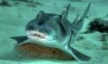 Cá mập cũng đa dạng tính cách như con người