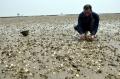 Hải Phòng: Ngao chết do nuôi quá dày