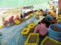 Trăn trở nghề nuôi ốc hương