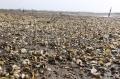 Bến Tre: Nghêu thịt chết hàng loạt tại HTX Đồng Tâm