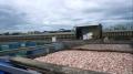 Đà Nẵng chấm dứt nuôi cá lồng bè trên sông