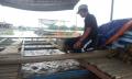Giá cá điêu hồng tăng cao kỷ lục, chủ bè thu lãi lớn