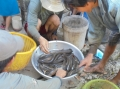 Hậu Giang: Hạn mặn đã làm trễ lịch thả nuôi thủy sản của nông dân