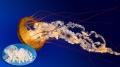 Sứa biển: Nguồn thức ăn thủy sản tiềm năng