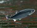 Bất ngờ: Nguyên nhân khiến cá hồi nuôi bị mất thính giác