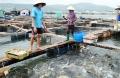 Nghề nuôi cá biển gặp khó