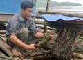 Nuôi cá chiên lồng ở Thái Hòa (Tuyên Quang)