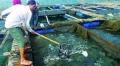Kỹ thuật nuôi cá chim vây