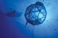 Cá tráp Nhật Bản thơm ngon nhờ nuôi ở biển sâu