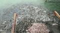 Bí quyết làm giàu của nông dân nuôi cá lóc