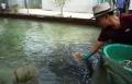 Chỉ 1 sào đất xây bể nuôi cá lóc nông dân 'đút túi' non tỷ bạc/năm