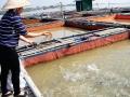 Quảng Trị: Cần thị trường cho sản phẩm cá lồng bè