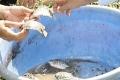 Mô hình nuôi cá nâu thương phẩm