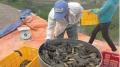 Nuôi cá rô đầu nhím: Hướng đi mới cho vùng đất nhiễm phèn