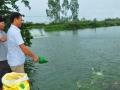 Nghệ An có thêm 10 ha nuôi cá rô phi VietGap mỗi năm