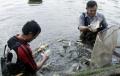 Đánh giá mô hình nuôi thâm canh cá rô phi Đường nghiệp
