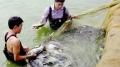 Nuôi cá rô phi bền vững theo tiêu chuẩn VietGAP