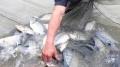 Nghệ An: Nuôi cá rô phi VietGAP đạt hơn 15 tấn/ha
