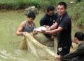 Tuyên Quang: Minh Dân nuôi cá rô phi thương phẩm