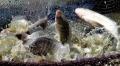 Thừa Thiên - Huế: Thí điểm nuôi cá rô phi đơn tính đạt hiệu quả