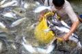 Cảnh báo tình trạng rầm rộ nuôi cá tra