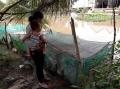 Vĩnh Trung: Nuôi cá vèo vào mùa nước nổi
