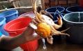 Nghề nuôi cua ốp trứng cho hiệu quả kinh tế cao