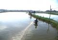 Quảng Nam: Nuôi ghép tôm sú cá đối nục đem lại hiệu quả cao