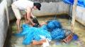 Thu nhập cao từ nuôi lươn không bùn bằng dây nilông