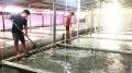 Khánh Hòa: Mất Tết vì ốc hương giống chết