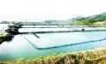 Khánh Hòa: Ốc hương chết yểu
